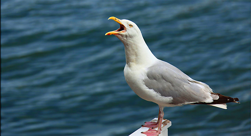 seagulls-800