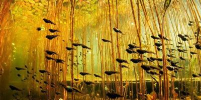 Головастики среди водорослей