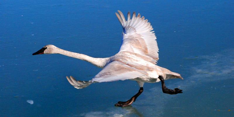 swan-fin